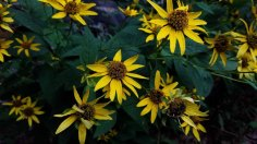 False Sunflower (Heliopsis helianthoides)