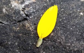 False Sunflower (Heliopsis helianthoides) Fertile Part