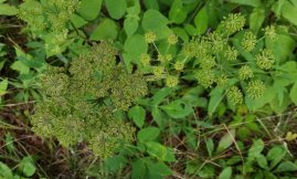 Filmy Angelica (Angelica triquinata) in Seed