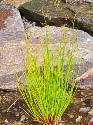 Possibly Short-tailed rush (Juncus brevicaudatus)