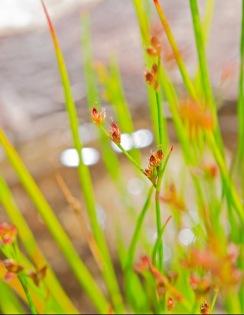 Possibly Short-tailed rush (Juncus brevicaudatus)