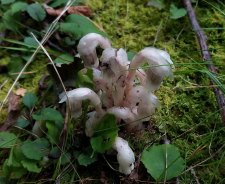 Ghost Flower (Monotropa uniflora)