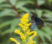 Butterfly on a Goldenrod