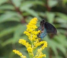 Butterfly on a Goldenrod