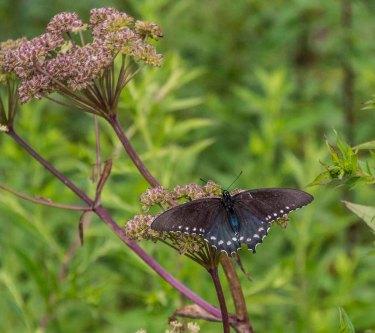Butterfly on a Joe-Pye