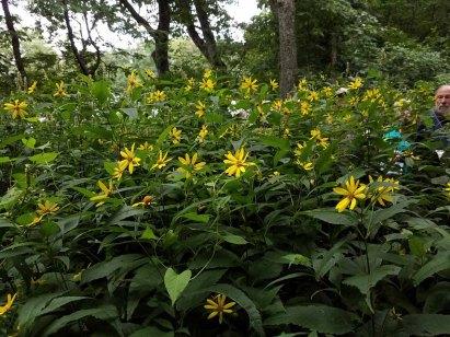 Joe Peeks Over A Field of Thin-leaved Sunflower (Helianthus decapetalus)