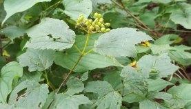 Viburnum acerifolium (Maple-leaved Viburnum) - Fruit