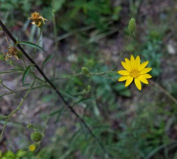 Maryland Golden Aster (Chrysopsis mariana)
