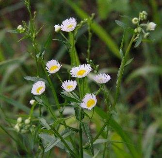 Possibly Lesser Daisy Fleabane (Erigeron strigosa)