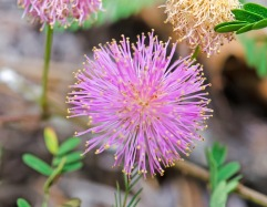 Mimosa microphylla (Sensitive Briar)