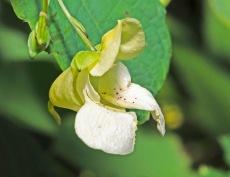 White Pale Jewelweed (Impatiens pallida)