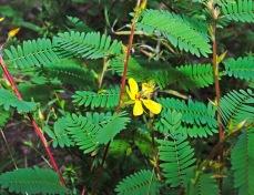 Partridge Pea (Chamaecrista fasciculata)
