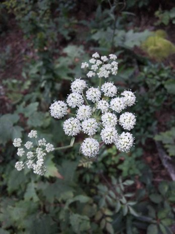Possibly Hairy Angelica (Angelica venenosa)