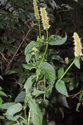 Purple Giant Hyssop (Agastache scrophulariifolia)