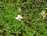 Pale Meadow Beauty (Rhexia mariana)