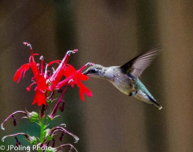 Ruby-throated Hummingbird at Cardinal Flower