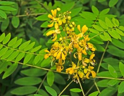 American Wild Senna (Senna herbicarpa)