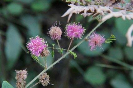 Sensitive Briar (Mimosa microphylla)