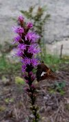 Silver-spotted Skipper on a Dense Blazing Star