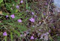 Slender Gerardia; Slender False Foxglove (Agalinis tenuifolia)