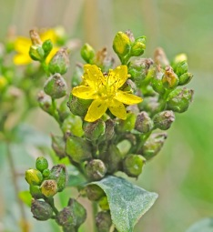 Spotted St John's-wort (Hypericum punctatum)