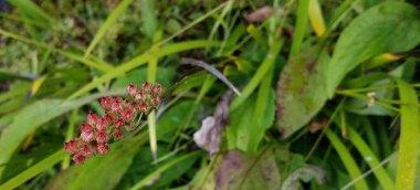 Sticky Asphodel (Tofieldia glutinosa)