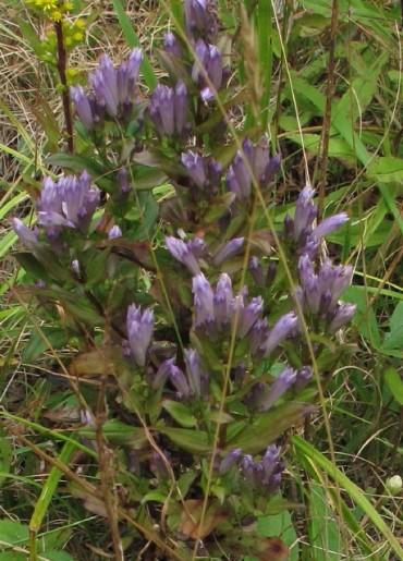 Stiff Gentian (Gentianella quinquefolia)