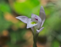 Three Birds Orchid; Nodding Pogonia (Triphora trianthophora)