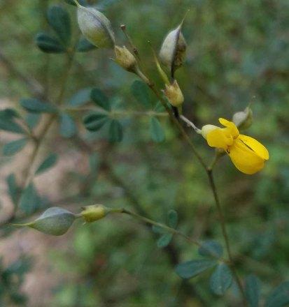 Wild Indigo (Baptisia tinctoria)
