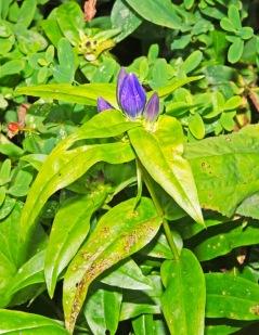 Balsam Mountain Gentian (Gentiana latidens)