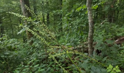 Black Cohosh (Actaea racemosa) in Seed