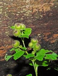 Common Burdock (Arctium minus)