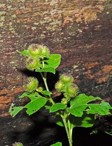Common Burdock (Arctium minus*)