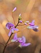 Naked-flowered Tick Trefoil (Desmodium nudiflorum)