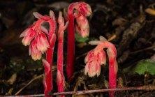 Pinesap (Hypopitys monotropa)