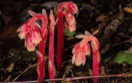 Pinesap (Monotropa hypopithys)