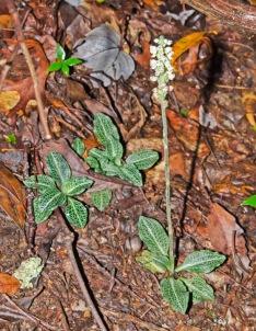 Rattlesnake Plantain (Goodyera pubsecens)