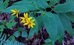 Smooth Sunflower (Helianthus laevigatus)