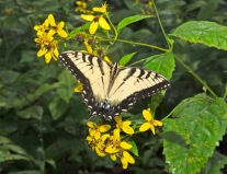 Swallowtail Butterfly and Helianthus
