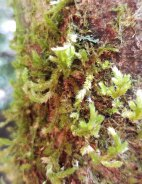 Forrstroemia Moss (Forsstroemia trichomitria)