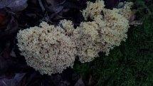 Coral Type Mushroom