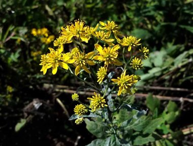 Wingstem (Verbesina alternifolia)