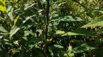 Wingstem (Verbesina alternifolia) Stem and Leaves