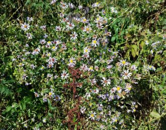 Asters Asters Everywhere