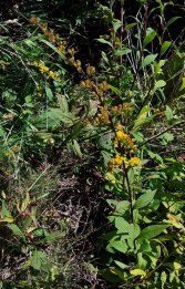 Blue-stem Goldenrod (Solidago caesia)