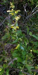 Possibly Boott's Goldenrod (Solidago arguta var. boottii)