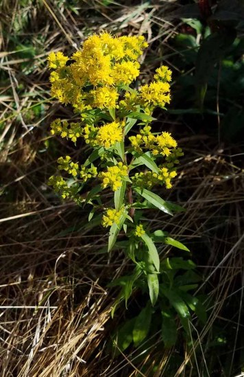 Early Goldenrod (Solidago juncea)