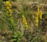 Mountain Goldenrod (Solidago roanensis)