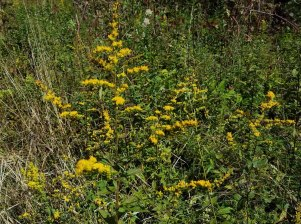 Rough-leaved Goldenrod (Solidago patula)