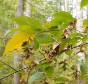 Ironwood or American Hornbeam (Carpinus caroliniana)